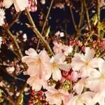 img_3777.jpg (夜桜…)